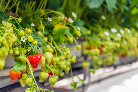 Ripening strawberries grown without soil at an ergonomic picking height in a modern specialized Dutch greenhouse.
