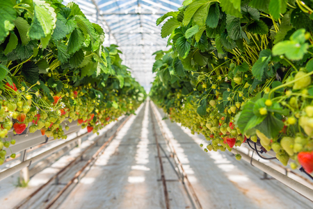 Overview of long rows with a lot of ripening strawberries grown without soil and at an ergonomic picking height in a modern specialized Dutch greenhouse. Stock Photo