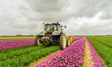 Mechanized cutting off the flower heads in the  tulip field of a specialized flower bulb nursery in the Netherlands. It is early in the morning of a cloudy day in the beginning of the spring season.