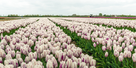 Blooming tulips with a white-purple flamed color pattern in the petals growing in a large field at a specialized Dutch bulb nursery. Its an early morning on a day at the beginning of the spring season. Stock Photo