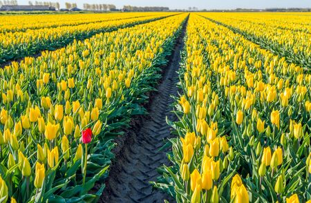 Bright red flowering tulip bloom on the edge of a large flower bed with only yellow tulips at a specialized Dutch bulb grower. It is early in the morning on a sunny day in the beginning of the spring season in the Netherlands.