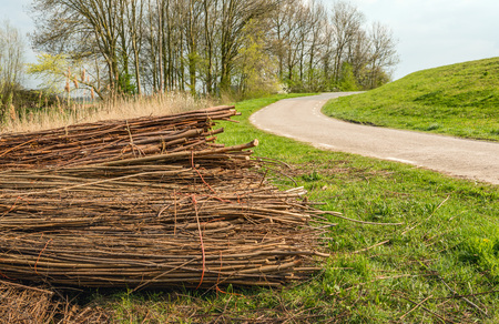With orange rope bundled osiers piled along the road and waiting for transportation. It is springtime in the Netherlands now. Stock Photo
