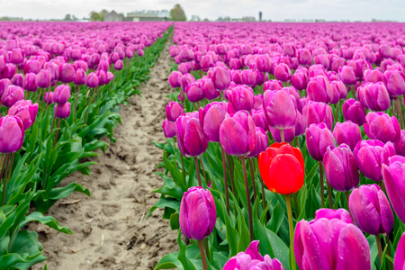 Striking red tulip stands out above the crowd of the common purple tulips in the tulip field of a bulb nursery in the Netherlands. 版權商用圖片