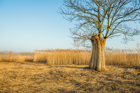 Upright against a tree, bundles harvested reed in a flood plain next to a Dutch river are waiting for transport.