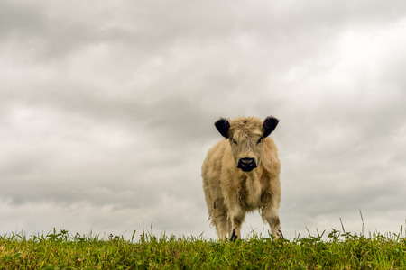 curiously: White galloway calf with a thick coat and black ears curiously looking at the photographer while standing on top of a dike.