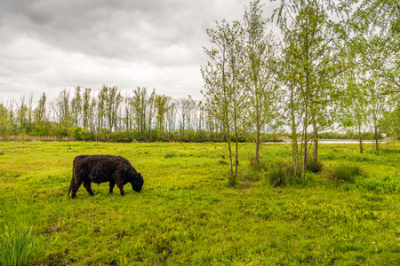 imperturbable: Strong dark brown colored Galloway bull with a curly winter coat grazes peacefully in the fresh green grass of a small nature reserve. It is a cloudy day in the spring season. Stock Photo