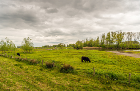 imperturbable: A cloudy sky and two dark brown grazing Galloway cattle in a smal Dutch nature reserve in the spring season.