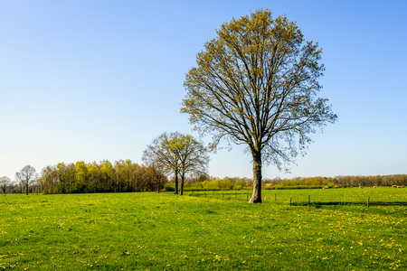 Budding tall tree in a large meadow with fresh green grass and yellow flowering dandelions. In the background some brown cows are grazing. It is springtime.