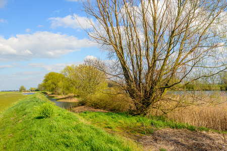 Budding willow shrub with fresh green young leaves at the bank of a river. In the foreground are many brown and yellow colored broken reed stems. It is springtime now. Stock Photo