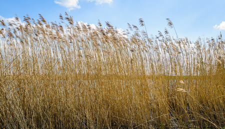 Waving withered seed heads of reed stems against a blue sky. In the background a wide river is visible.