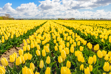 Yellow colored tulips in almost endless rows in the field of a specialized bulbs grower in the Netherlands. It is a cloudy day in springtime. Stock Photo