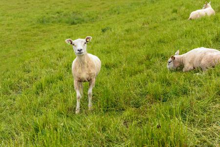 Recent geschoren schapen kijken trots naar de fotograaf terwijl de andere twee schapen op de helling van een dijk kalm blijven. Stockfoto