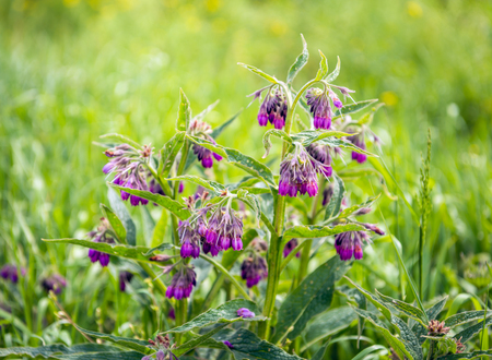 Purple budding, flowering and overblown blooms of a common comfrey or Symphytum officinale plant between grass and other wild plants in a Dutch nature area. Stock Photo