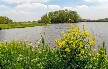 Yellow flowering rapeseed and other wild plants on the bank of a small lake in the Netherlands. It is springtime now.
