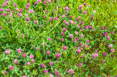Closeup of red purple flowering clover plants between grases and other wild plants. Lizenzfreie Bilder