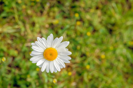 Closeup as seen in birds-eye view of a white and yellow flowering oxeye daisy plants in its own natural habitat on a sunny day in the spring season.