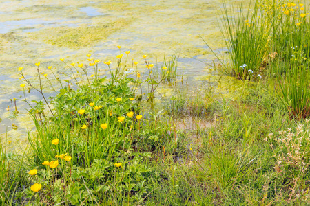 Colorful flowering wild plants and grasses on the water side. The water surface is covered with duckweed. Stock Photo