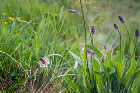 Budding and flowering blooms of the English plantain or Plantago lanceolata plant in its own wild natural habitat on a sunny day in the spring season. Stock Photo
