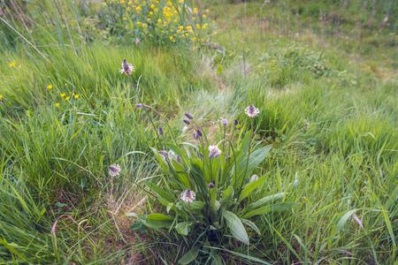 Bloeiende en bloeiende bloei van de Engelse plantain of Plantago lanceolata plant in zijn eigen wilde natuurlijke habitat op een zonnige dag in het lente seizoen.