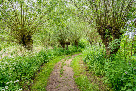 Idyllic path between budding willow trees. Its spring, it smells spicy and the wild plants bloom exuberantly.