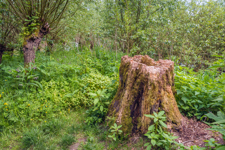 Rotten trunk in the woods contrastingly surrounded by fresh green young plants. Its spring now.