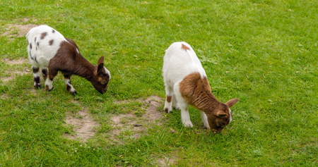 Two light and dark brown spotted baby goats graze in the fresh green grass of the meadow. It is springtime now. Lizenzfreie Bilder