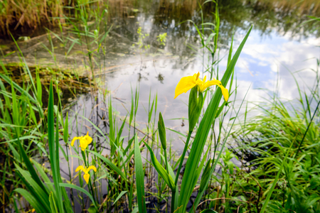 Budding and flowering yellow iris blooms at the bank of natural pond in a Dutch nature reserve in the spring season.
