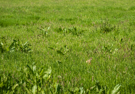 Brown hare hidden between the wild grasses and plants in a nature area om a sunny day in springtime. Stock Photo