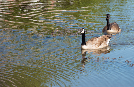 A couple of Canadian geese in springtime swimming in a Dutch city canal