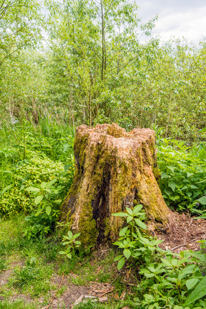 Rotten tree trunk in the woods of a Dutch national park. The trunk is contrastingly surrounded by fresh green young plants. Its spring now.