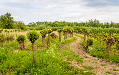 Meandering path between pollard willow trees in the Dutch National Park De Biesbosch.