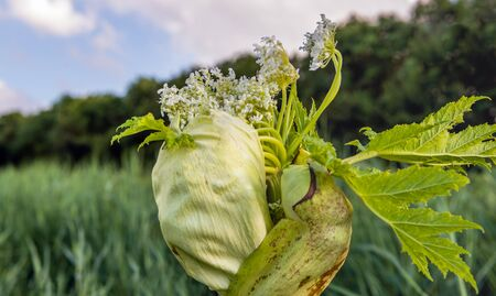 Closeup of a budding and white flowering Giant Hogweed or Heracleum mantegazzianum plant. The sap of giant hogweed causes phytophotodermatitis in humans, resulting in blisters and long-lasting scars.