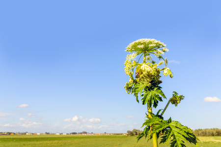 Giant Hogweed in different flowering stages on a sunny day. The sap of giant hogweed causes phytophotodermatitis in humans, resulting in blisters and long-lasting scars. Lizenzfreie Bilder
