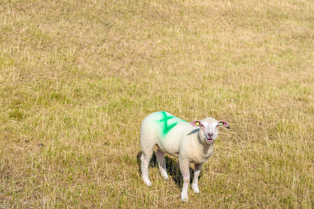 Earmarked lamb is bleating on the slope of an embankment with yellow grass. Its a sunny day in the Dutch spring season.