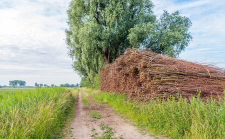 Picturesque image of a long sandy road with a large heap of willow branches bundled with ropes. Its springtime in the Netherlands.