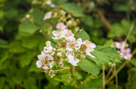 Closeup of budding and pale pink blossoming blackberry flowers in the late spring season. Lizenzfreie Bilder
