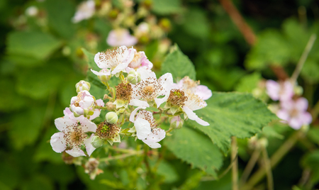 Closeup of budding and pale pink blossoming blackberry flowers and still unripe fruits in the late spring season growing in a Dutch nature reserve.