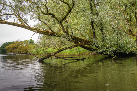 Overhanging willow trees in a wild freshwater tidal area in the Netherlands. This special area De BIesbosch has the status of a National Park.
