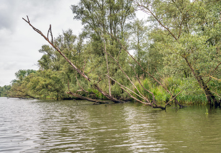 Sloping overhanging tree trunks above a creek in a freshwater tide area in a nature reserve in the Netherlands. Its a cloudy in the beginning of the summer season. Stock Photo