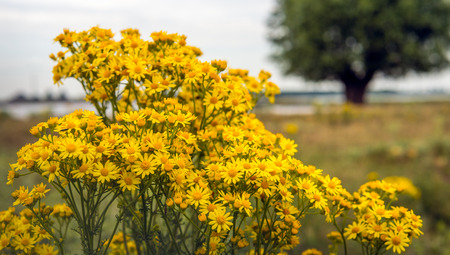 willy: Yellow flowering common ragwort or Jacobaea vulgaris blooms wild growing at the bank of a river in the beginning of the summer season. Stock Photo