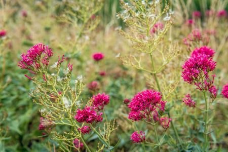 Budding, flowering and overblown red valerian or Centranthus ruber plants growing on the slope of a Dutch emankment. It is in the beginning of the summer season. Stock Photo