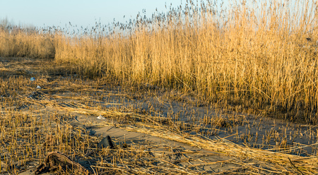 common reed: Marshland in the Netherlands after harvesting the reed by the reed cutter. It is a sunny in the end of the Dutch winter season.
