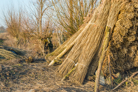 harvested: Stacked bundles of harvested reed waiting for transport in a Dutch river landscape on a sunny in the end of the winter season.