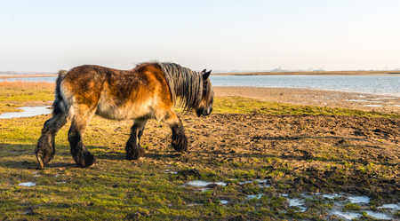 Belgian draft horse walks on a sunny day in the winter season through the frozen marshy area on the edge of a river in the Netherlands.
