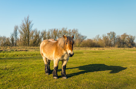 Belgian draft horse looks at the photographer while standing in the grass of a Dutch meadow on a sunny day in the winter season. Stock Photo