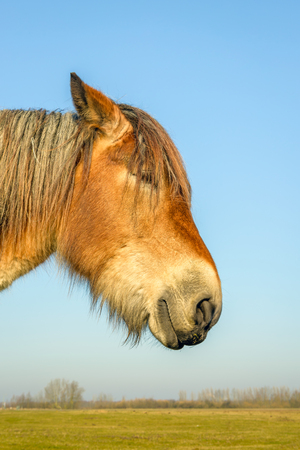 Portrait of Belgian horse as seen from aside on a sunny day in the winter season.