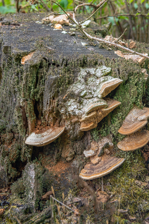 Closeup of plate-like fungi on a rotten trunk in a Dutch forest