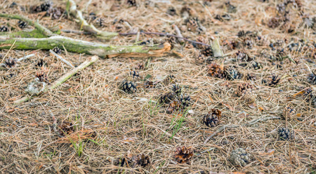 pinus sylvestris: Detailed and lifelike image of a forest bottom in the Netherlands with dry pine needles and pine cones.  Between the arid pine needles grow some fresh green blades of grass.
