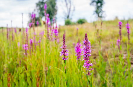 Flowering Lythrum salicaria or purple loosestrife in a marshy area in the Netherlands on a cloudy day in summertime. Stock Photo