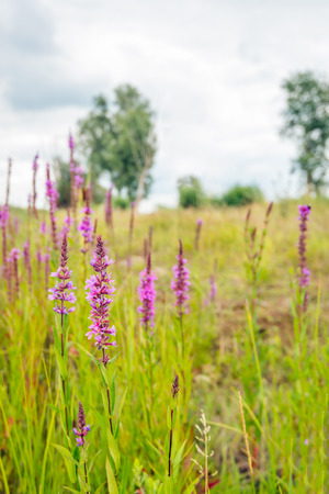 common reed: Flowering Lythrum salicaria or purple loosestrife in a marshy area in the Netherlands on a cloudy day in summertime. Stock Photo
